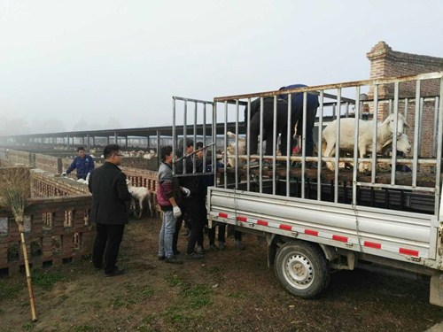 图为300只羊从河南三阳畜牧有限公司安全运送至佘家乡安生养殖合作社