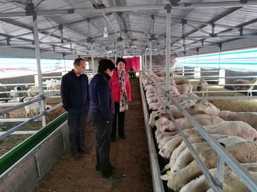 图为残联理事长杨凤敏同志实地察看肉羊的生长情况